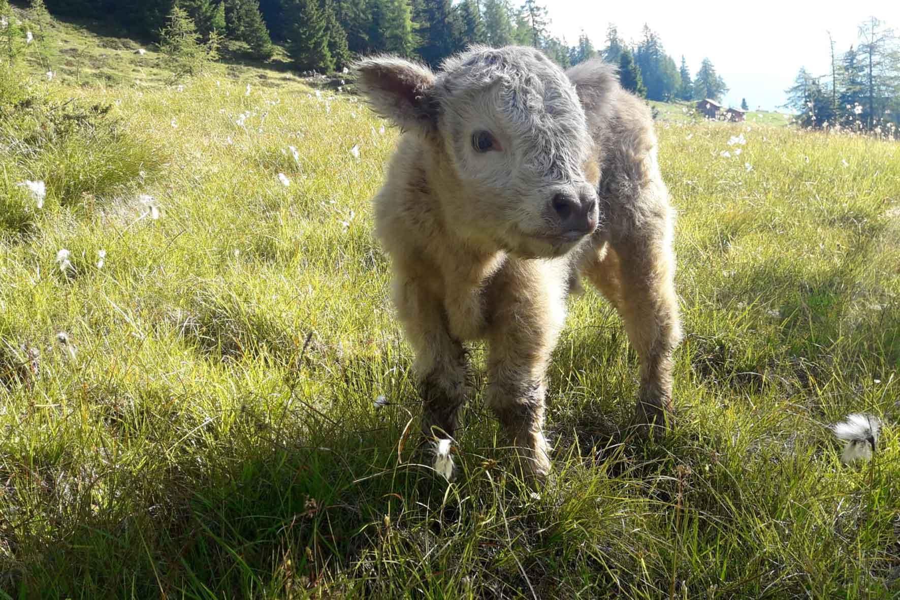 Schafe auf dem Labachgut